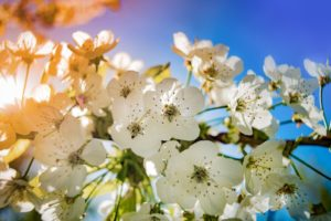 apple-blossom-free-stock-photo-license